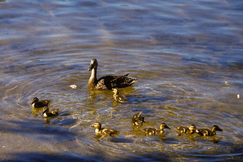 a horizontal stock photograph of a female mallard duck swimming with eight little ducklings.
