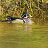 A male wood duck swimming alone.