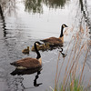 A Vertical Stock Photograph of a family of Canadian Geese with five goslings