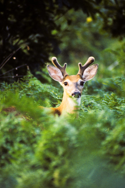 A white tailed four point buck in summer velvet. Closeup head shot. shots