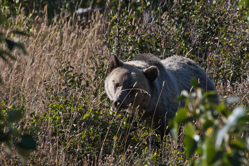 A horozontal stock photograph of a large grizzly bear. eating huckleberries. Many Glaciers area of Glacier National Park Montana.