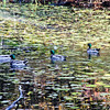A horozontal stock photograph of a flock of mallard ducks sitting in a leaf covered pond