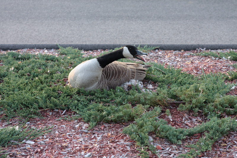 A horizontal Stock Photograph of a canadian goose sitting on the nest. Showing agitation at the morning traffic in the industrial parking lot where they choose to nest.
