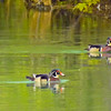 A pair of male wood ducks swimming side by side.
