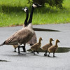 Canadian geese family with two adult and five goselings walking on a wet road to get to the lake.