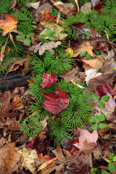 A Vertical Stock Photograph of princess pine and colorful wet fall leaves. A closeup nature photograph.