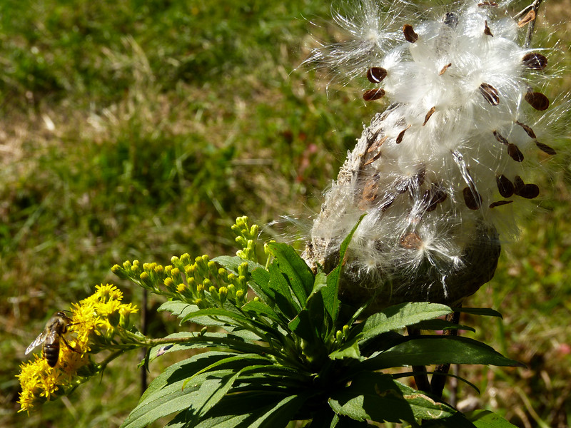 a horozontal stock photograph of a ragweed seeding out, with bee on ragweed in foreground,