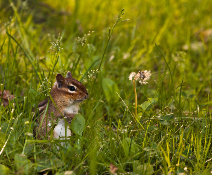 A horizontal stock photograph of an eastern chipmonk standing alertly in the grass.