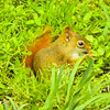 A red squirrel eating sunflower seeds in the grass.