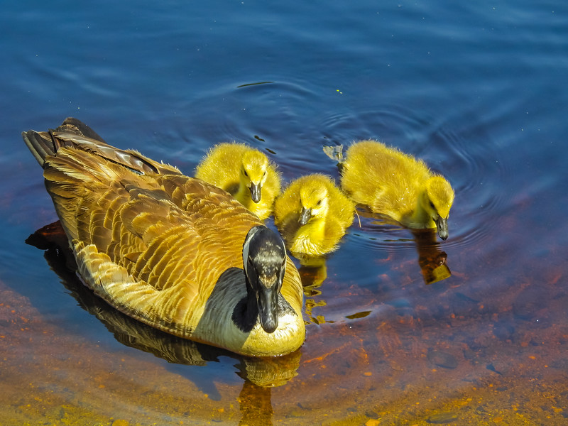 A family of canada geese feeding on the water,three goselings and one adult goose.