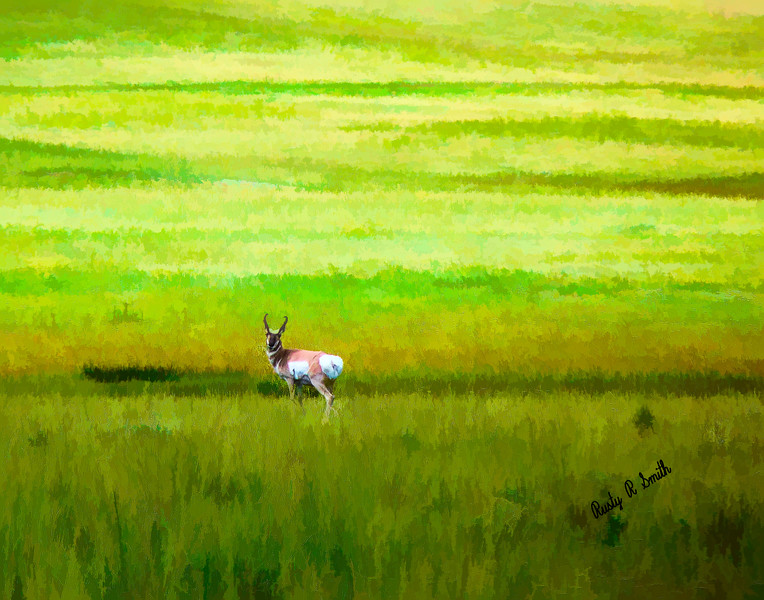 Proghorn antelope in a sea of grass.