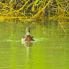 A male wood duck swimming alone,looking at the camera