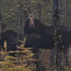A horizontal stock photograph of a female moose and her calf standing in a spruce forest near Errol New Hampshire.