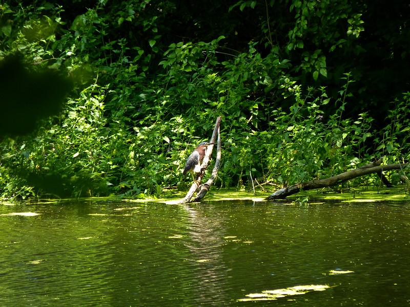 A horizontal stock photograph of a Green Heron perched on a dead limb.