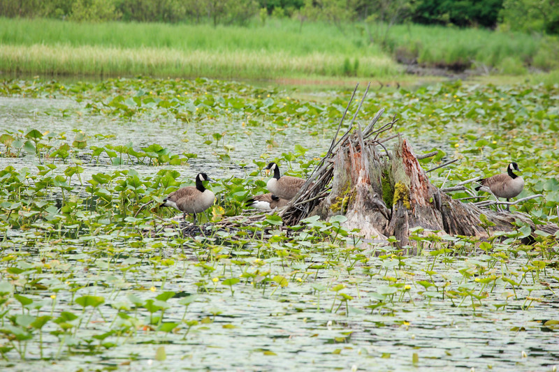A horizontal stock photograph of a family of canada geese