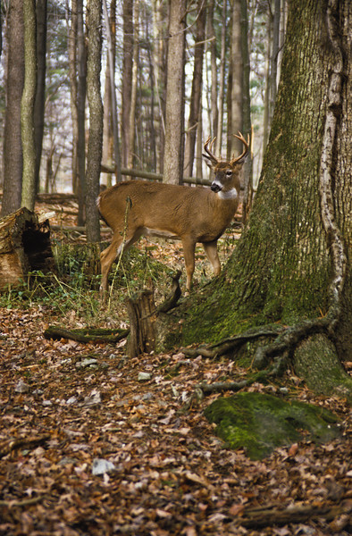a vertical stock photograph of a white tailed buck standing  looking alertly over his shoulder. Eight point buck.