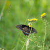 A Vertical Stock Photograph of a dark colored female Eastern tiger swallowtail butterfly feeding on a yellow flower.
