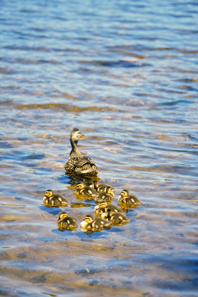 A vertical stock photograph of a female mallard duck swimming with nine little ducklings.