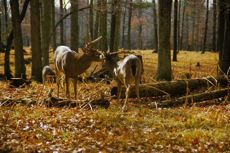 a horizontal stock photograph of two of whitetailed deer. One buck and one doe.The does is rubbing the bucks nuzzle.