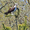 Osprey perching in a tree.