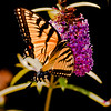 A  Vertical stock photo of an eastern tiger swallowtail butterfly feeding on a purple butterfly bush. Backlighting