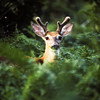 a vertical stock photograph of a white tailed buck in his summer velvet. Closeup head view