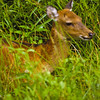 A horozontal stock photograph of  a white tailed fawn. Surrounded by lush green grass.