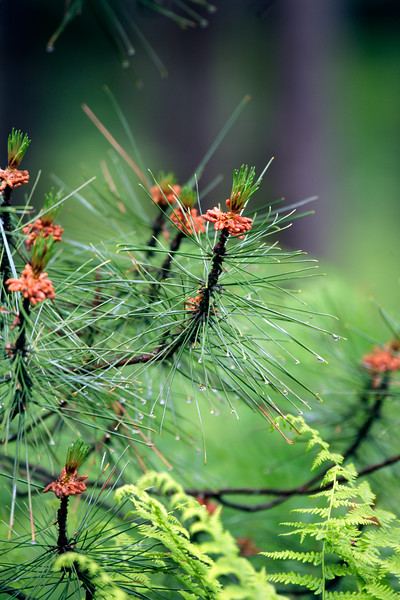A Vertical Stock Photograph of a closeup view of Red Pine needles and cone clusters with rain drops.