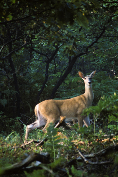 a vertical stock photograph of a white tailed doe alert getting ready to run.