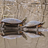 Two Eastern Painted Turtles resting on a log.