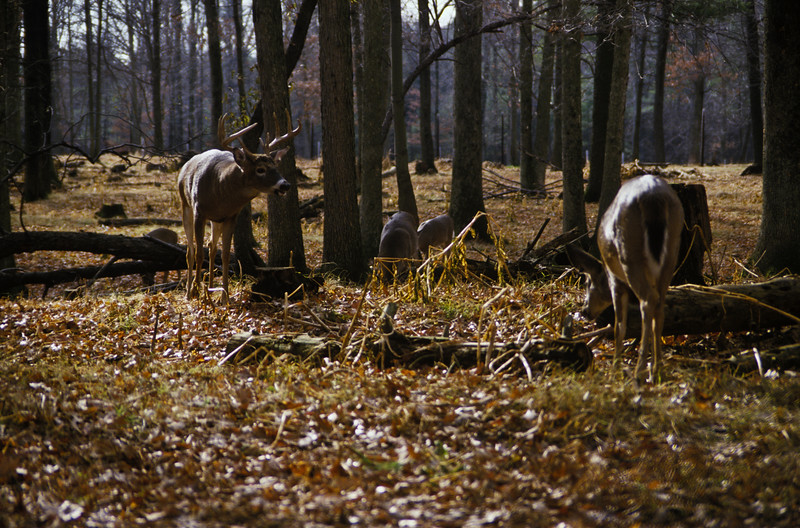 a horizontal stock photograph of a whitetailed deer herd with one buck and three does. Buck appears to be calling one of the does.