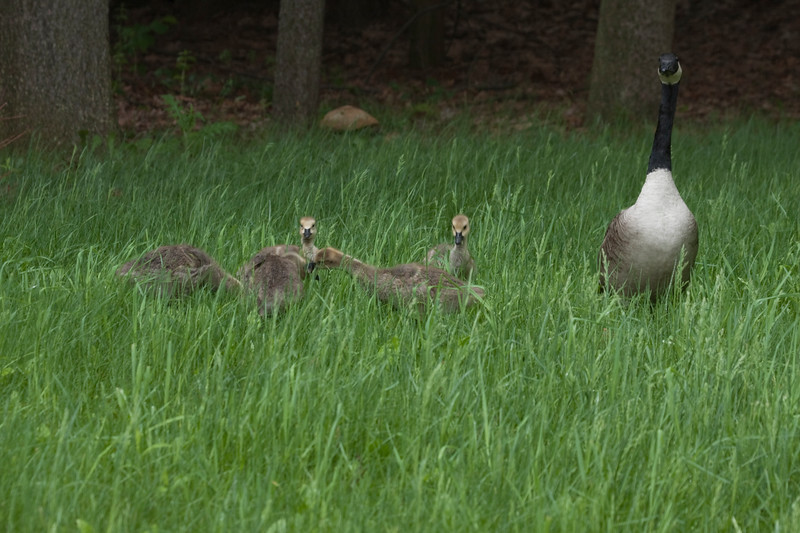 Canadian geese family with one adult and five goselings feeding in the tall green grass.