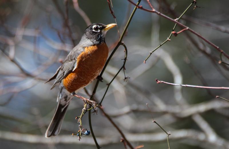 An American Robin perching on small berry limb