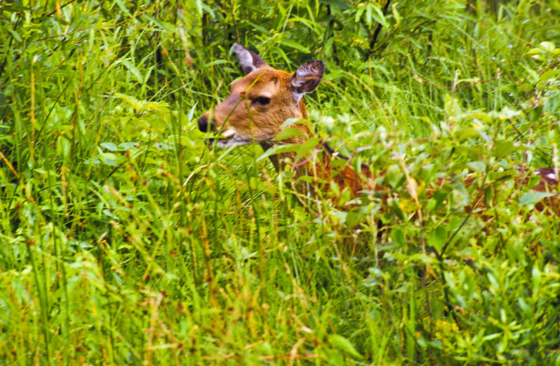 A closeup view of a white tailed fawn in lush green grass.