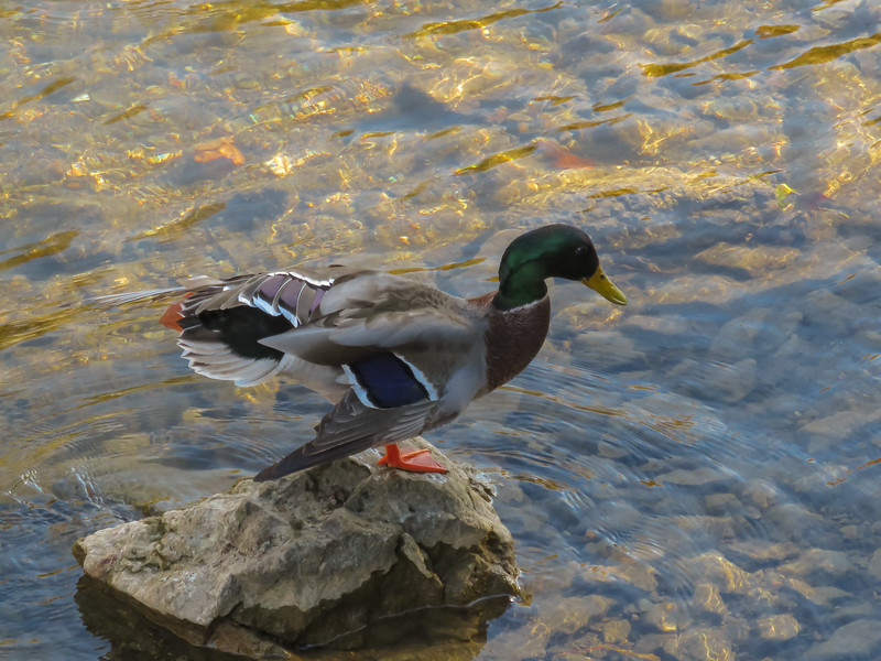 A digital art photograph of a male mallard duck standing on a rock in the river.