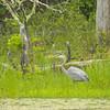 A Blue Heron