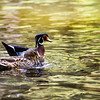 A male and female wood duck swimming side by side. rustysmithphoto.com