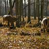 a horizontal stock photograph of  a herd of whitetailed deer. One buck and three does.