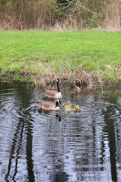 A Vertical Stock Photograph of a family of canadian Geese.Has five newborn goslings.