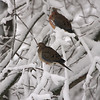 A Vertical Stock Photograph of a pair of mourning doves perching on snow covered tree branches.