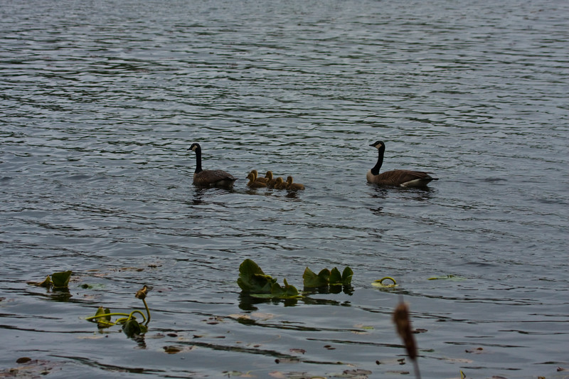A family of canadian geese with two adults and five fuzzy babies swimming together.