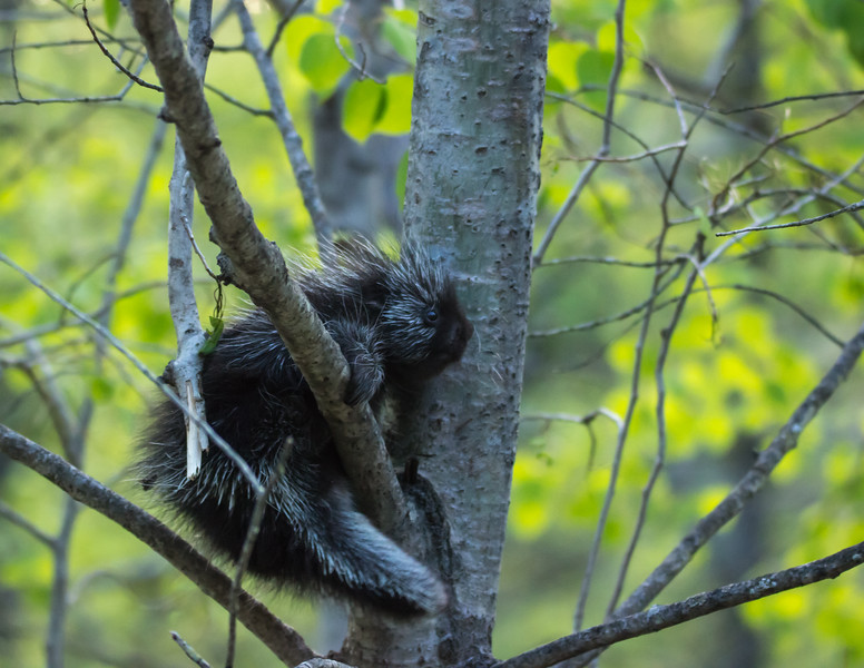 Very young porcupine in an aspen tree