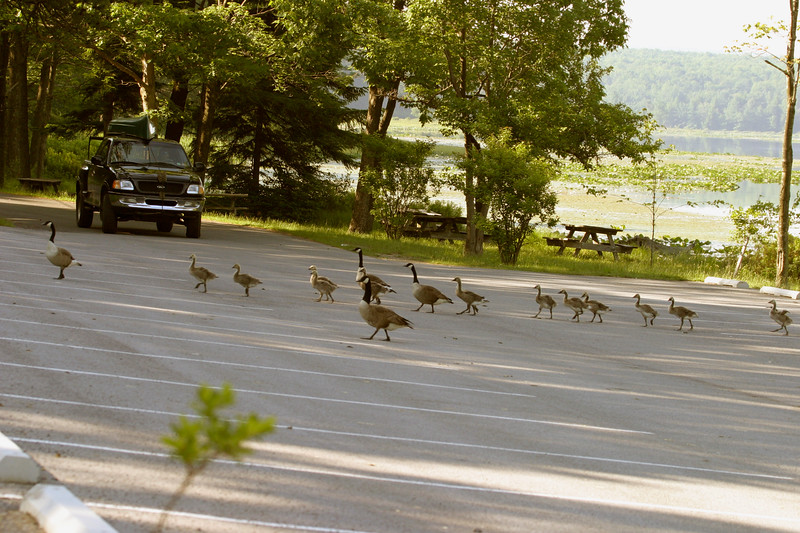 A horizontal stock photo showing vehicle stopped while several families of canadian geese cross the parking lot at Black Moshannon State Park Pennsylvania.