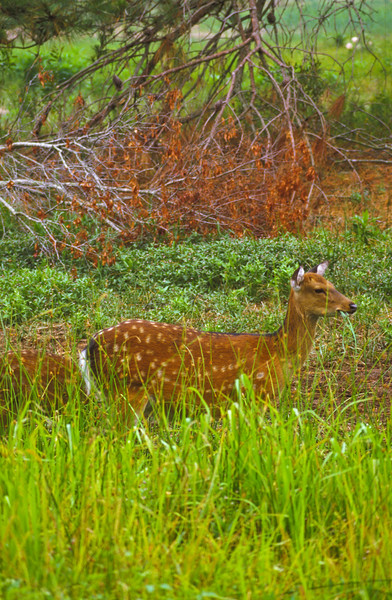 A vertical stock photograph of a white tailed fawn eating grass.