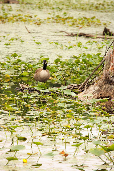 A vertical stock photograph of a canada goose standing guard by the nest.
