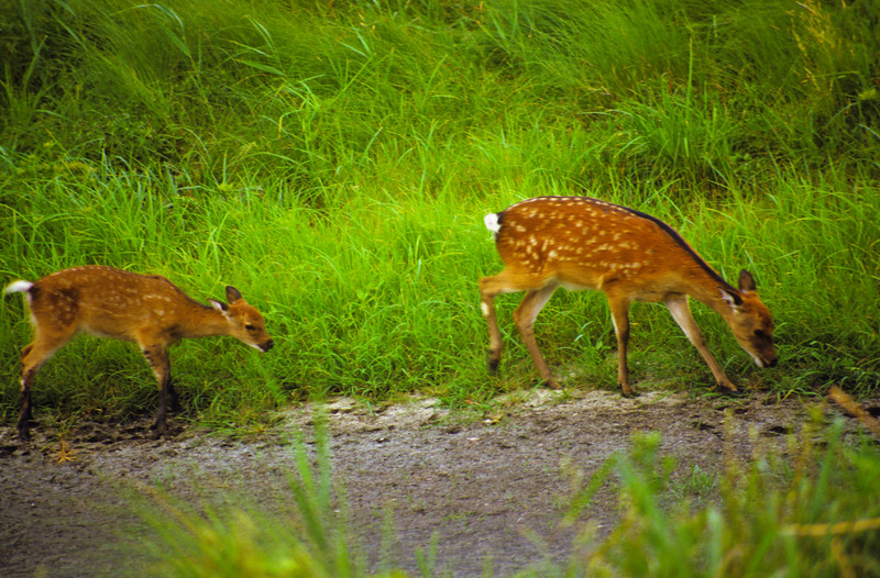 A horizontal stock photograph of two white tailed fawns walking and feeding.