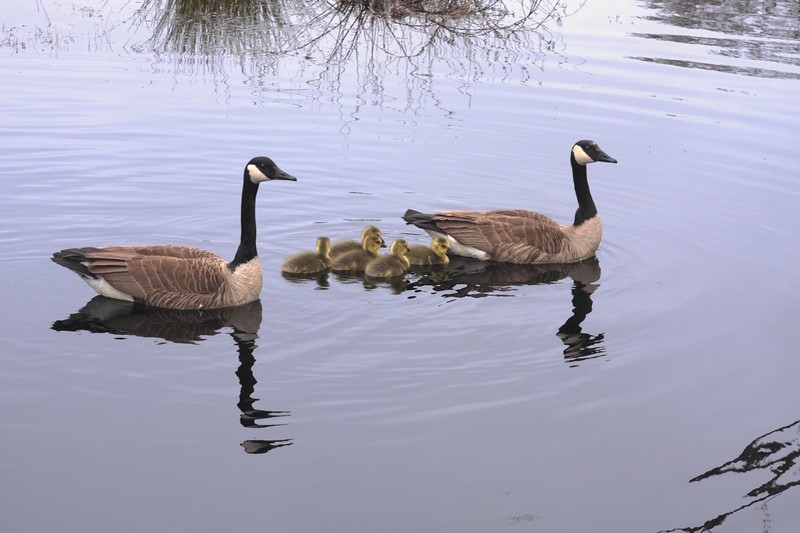 A horizontal Stock Photograph of a Canadian geese family with five goslings.