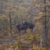 A vertical stock photograph of a female moose and her calf standing in a spruce swamp on a foggy morning. Near Errol New Hampshire.