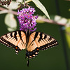 A  horizontal stock photo of an eastern tiger swallowtail butterfly feeding on a purple butterfly bush.
