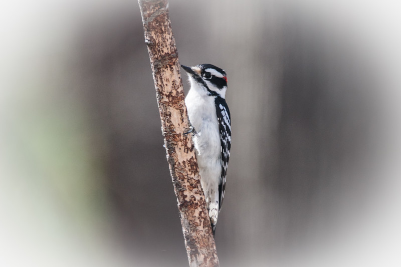 Male Downy Woodpecker clinging to a limb.
